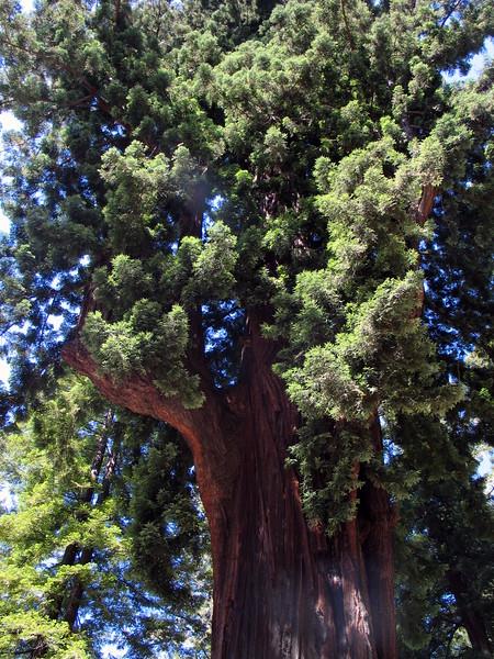 Chandelier Tree, Leggett (7).jpg