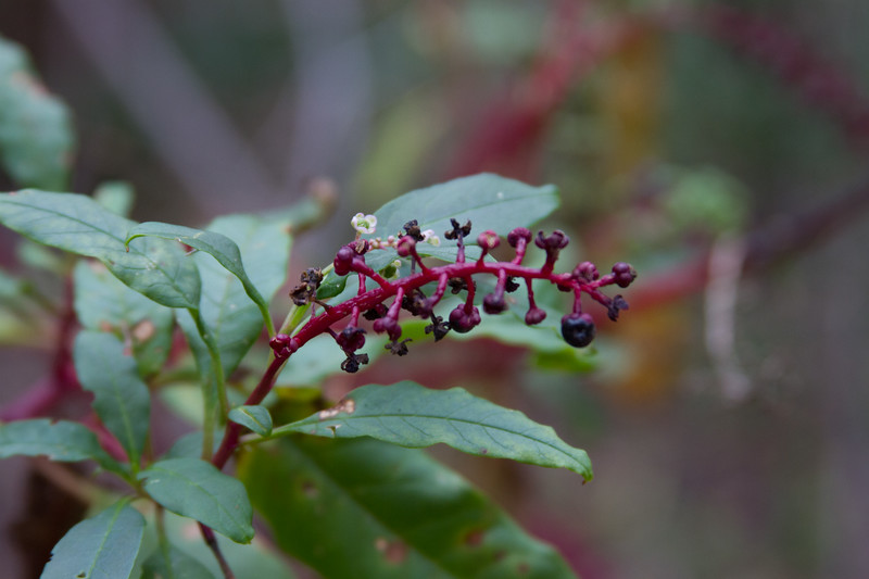Phytolacca americana - Poke weed