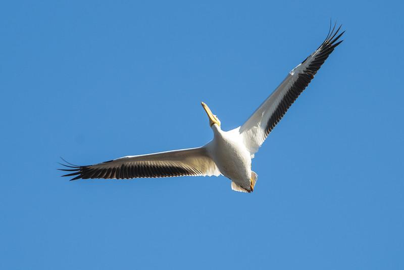 Pelican - American White - Betz- Tiger Creek Preserve State Park - Jacksonville, FL