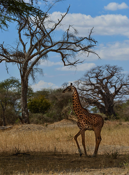 Giraffe at Tarangire national park.  Tanzania.  2019.