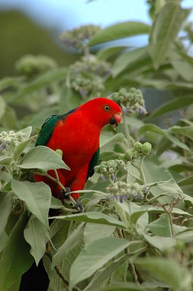 King Parrot Australia 2005