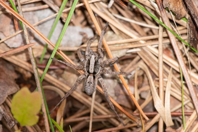 Hogna frondicola Wolf Spider Wisconsin Point Superior WI DSC06135.jpg