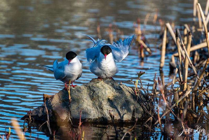 2020-05-12_Potter Marsh bird-_6109617-Juno Kim.jpg