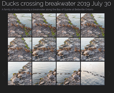 Ducks crossing breakwater 2019 July 30