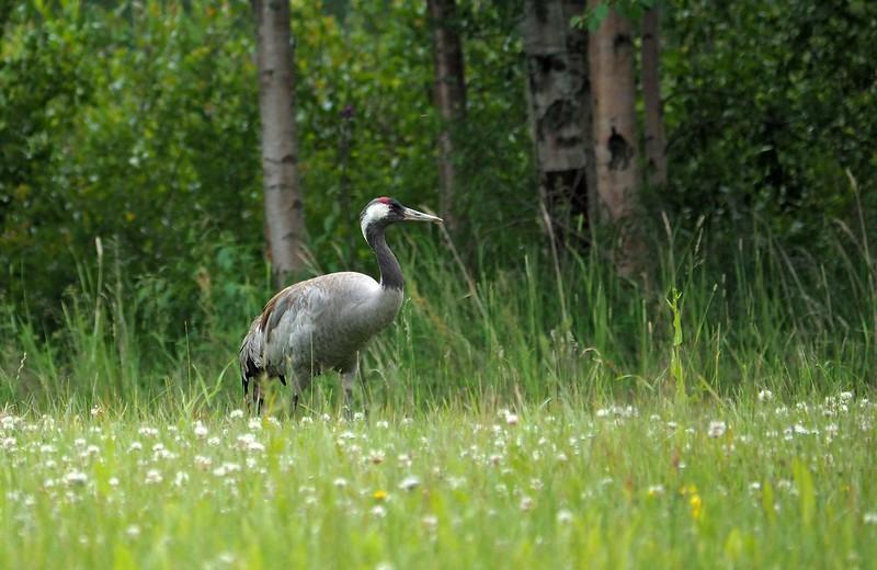 Kraanvogel Norrfällsviken 19-07-17 (6).jpg