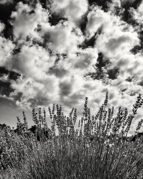 lavender clouds, East Marion NY