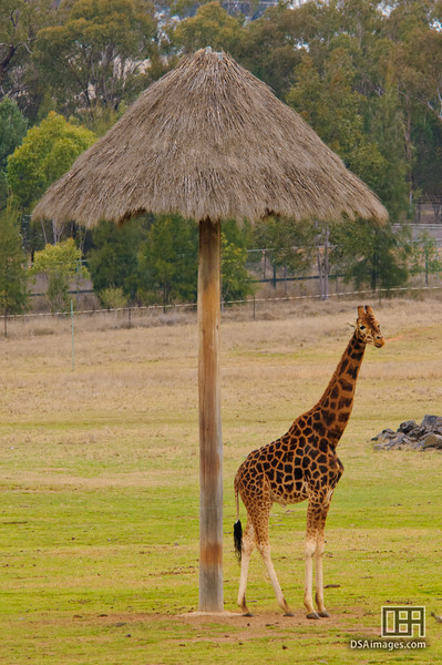 Giraffe umbrella, which looks like a giraffe cocktail