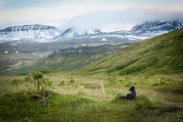ARCTIC FOX - HORNSTRANDIR ICELAND