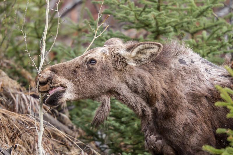 Moose calf Yellowstone National Park WY IMG_7215.jpg