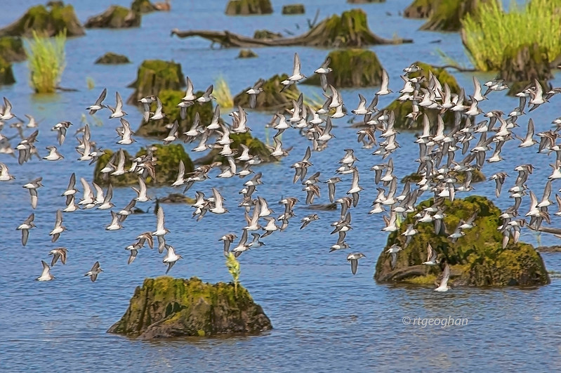 July 22_Mill Creek Marsh Shorebird Migration_0801.jpg