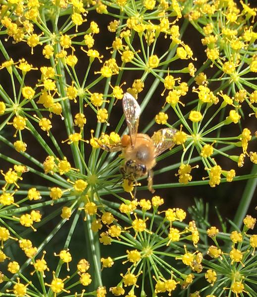 8_8_19 Bees having Dill Delight lunch.jpg