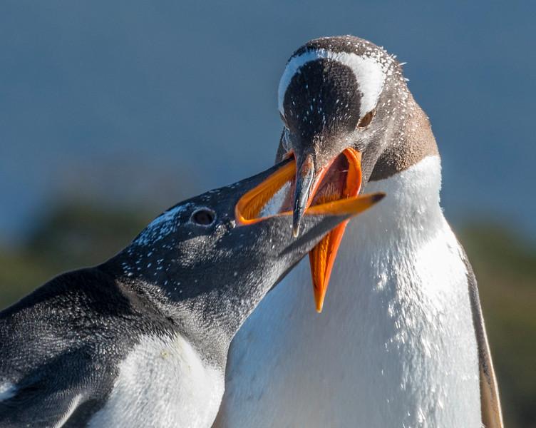 Penguins_Gentu_Ushuaia-13.jpg