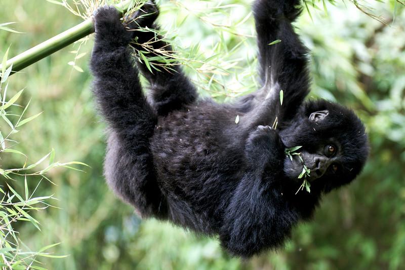 Gorillas  8409.jpg