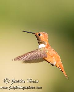 Rufus Hummingbird 07-09-2014