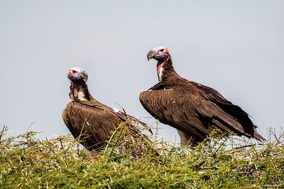 Øregribb (Lappet-faced vulture)