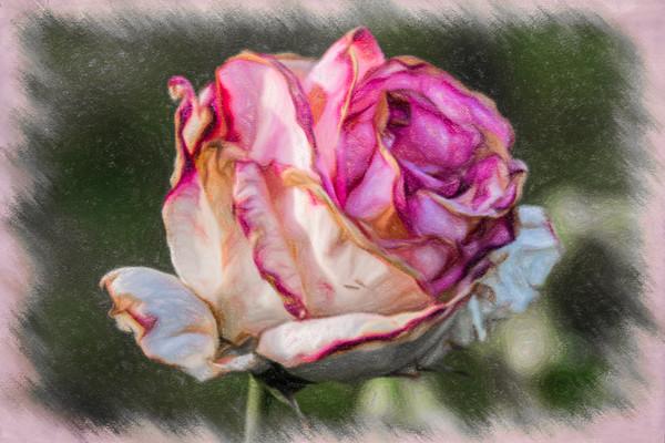 May 8 - Blooming rose.jpg