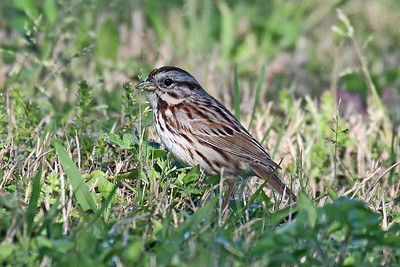 Sparrows & Pipits