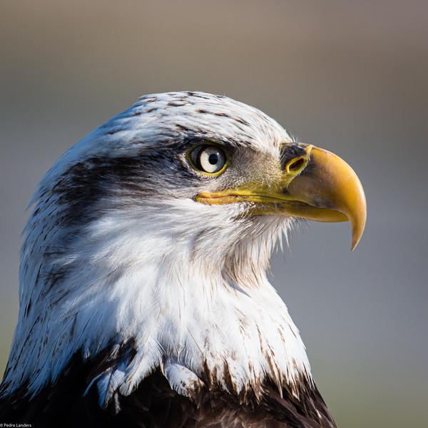 Adolescent Eagle 04.jpg