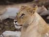 Pretty Lioness