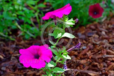 Petunia Flower Pictures