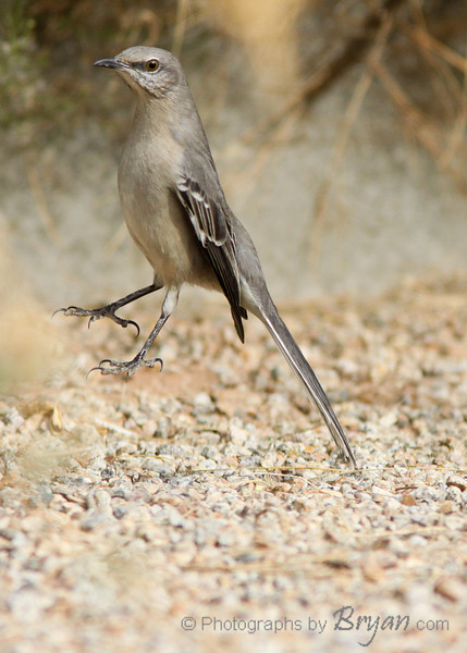 A hopping Mockingbird.