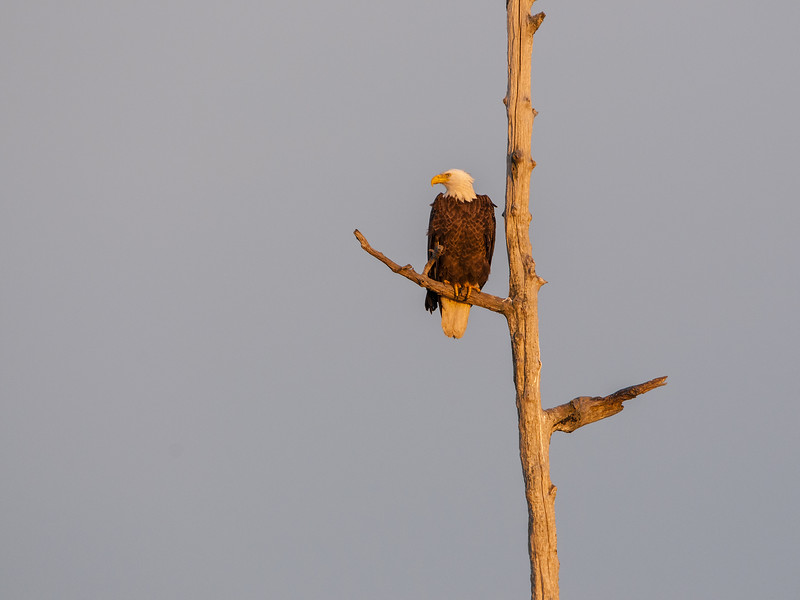 Bald Eagle Perched in Snag Five.jpg