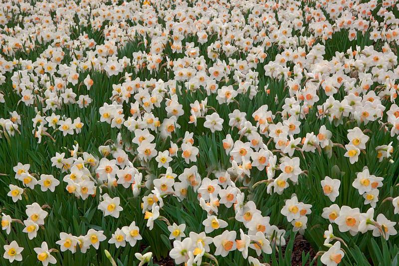 Daffodils, Morton Arboretum, Illinois