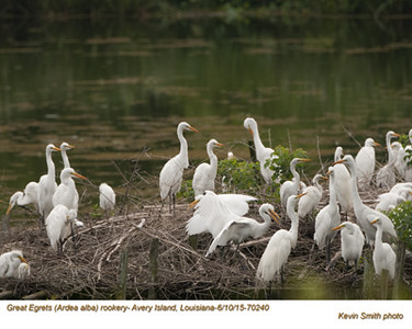 Great Egrets Rookery70240psd.jpg