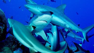 Yap - Hungry Sharks
