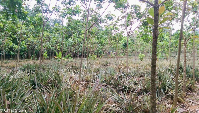 Pineapple Plantation at Thattekad, Kerala, India (03-04-2015) 074-5.jpg