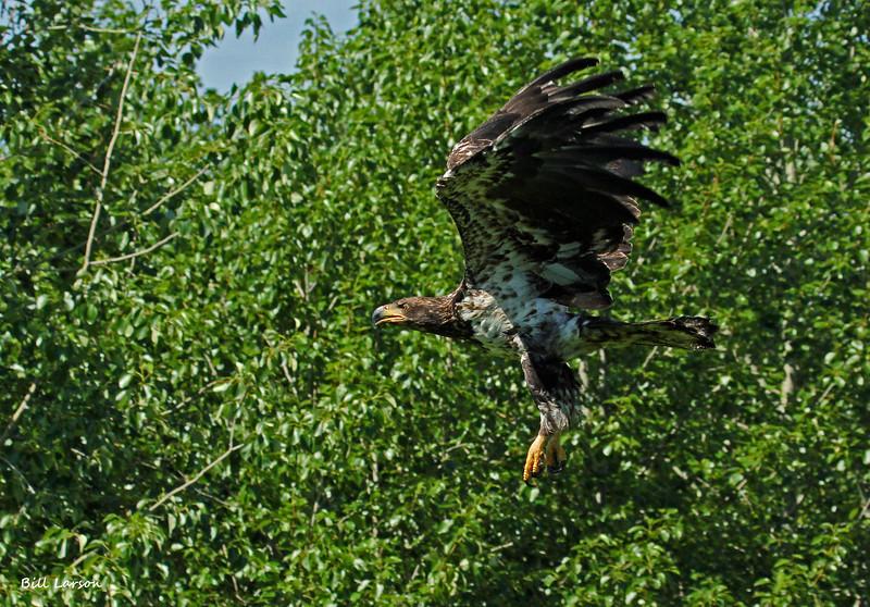 Dave's B-day eagle 022.jpg