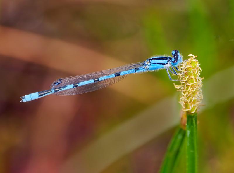 Familiar Bluet (Enallagma civile), male