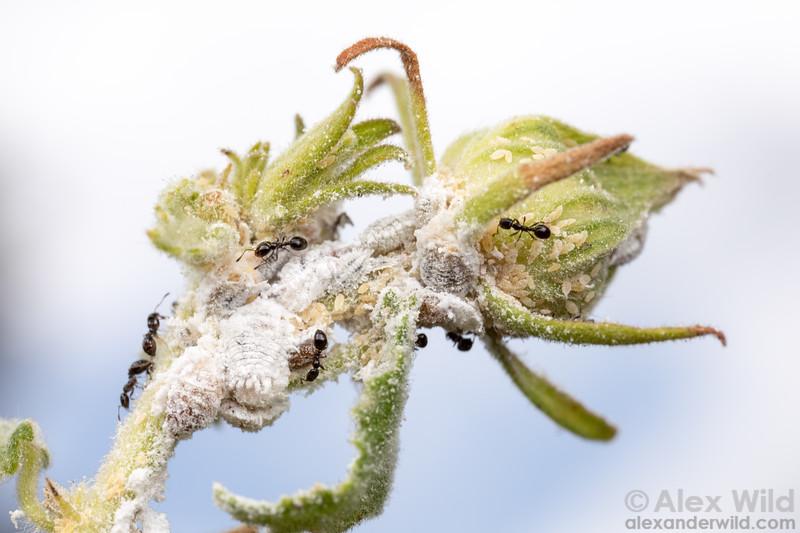 Monomorium & mealybugs