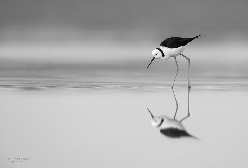 Black-winged Stilt, Lake Woolumbulla, NSW, Aus, Jul 2014-4.jpg