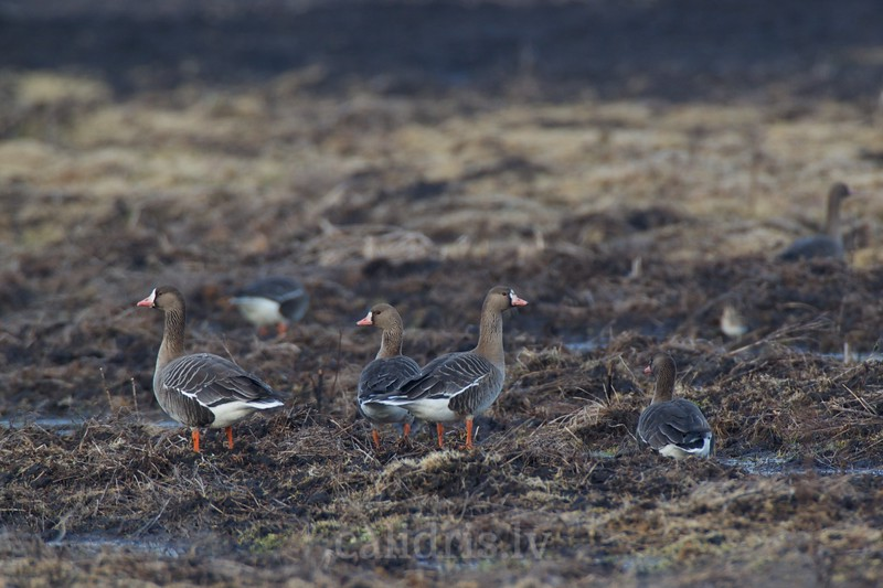White -fronted gees / Balpieres zosis
