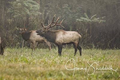 Elk (October 14)