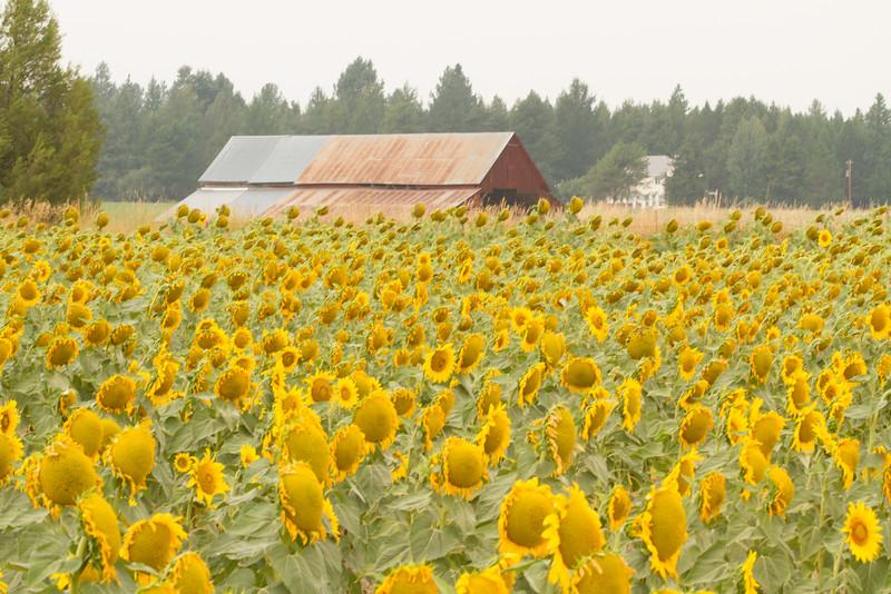 sun flowers-3907.jpg