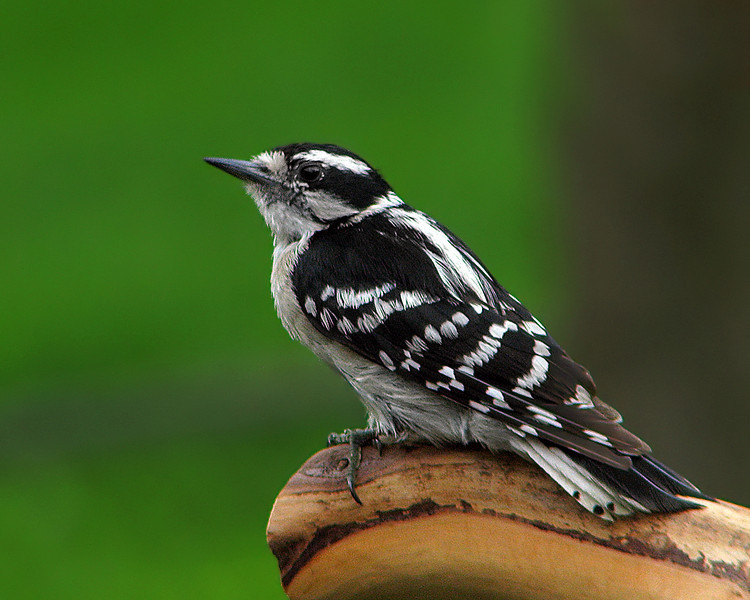 downey_woodpecker_0406.jpg