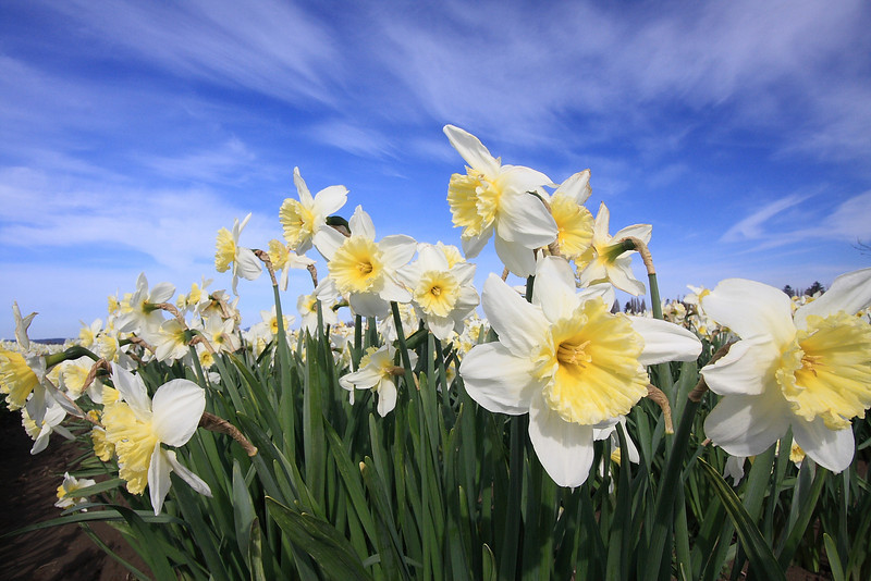 Tulips 08  02.JPG