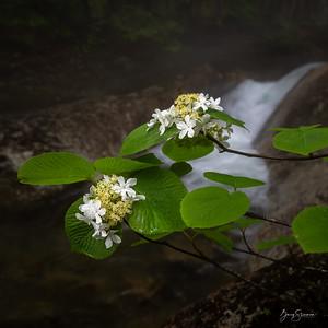 White Mountain Flora