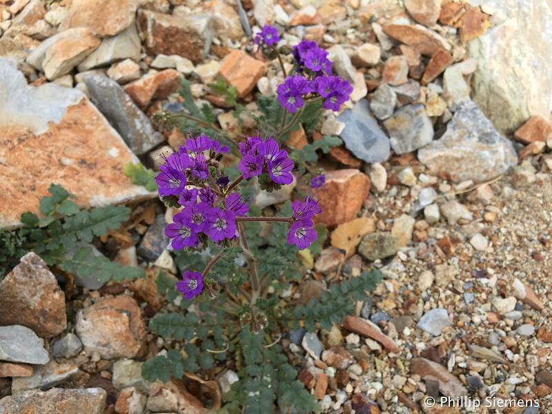 Maybe a Notch-Leaf Scorpion Weed