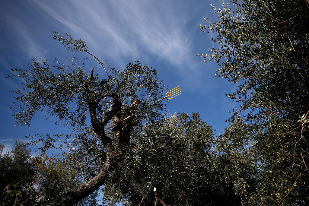 . Dimitris Apostolopoulos climbs a tree for harvesting at an olive grove in Velanidi village, 320 kilometers (200 miles) west of Athens, Greece on Thursday, Nov. 28, 2013. The economic crisis has seen a return of Greeks to farm work in recent years, after abandoning fields for years and using migrant labor. He received half of the olive oil produced from his collection as payment. (AP Photo/Petros Giannakouris)