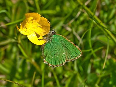 Green Hairstreak (Callophrys rubi)