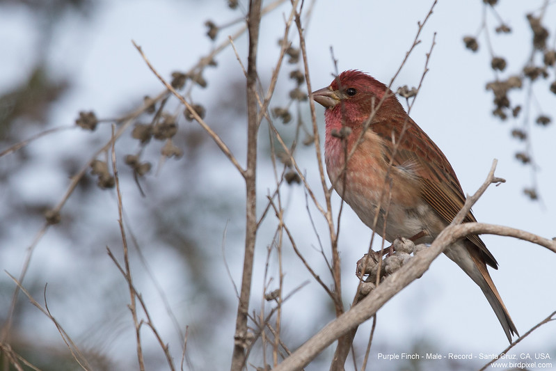Purple Finch - Male - Record - Santa Cruz, CA, USA.