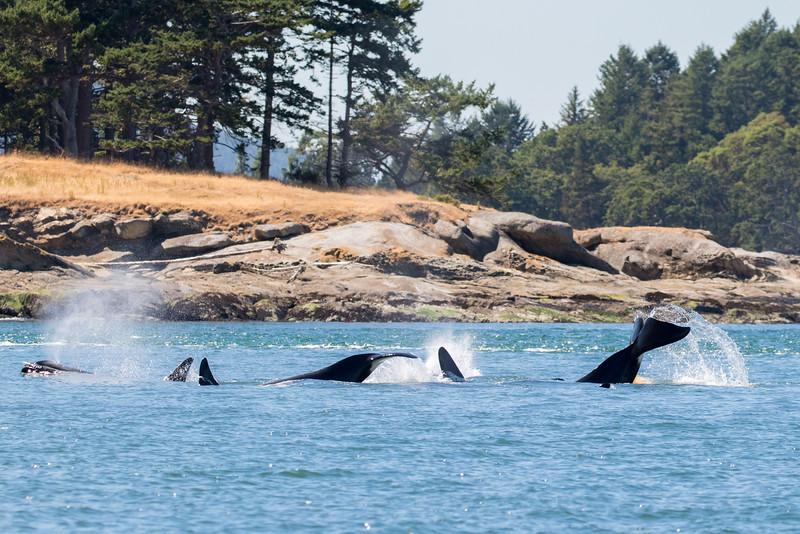 Orcas -  073115-030.jpg