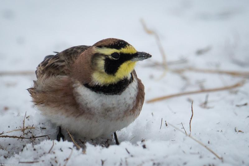 Horned Lark and Snow