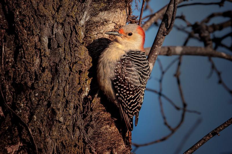 12.5.18 - Prairie Creek Marina: Red-Bellied Woodpecker