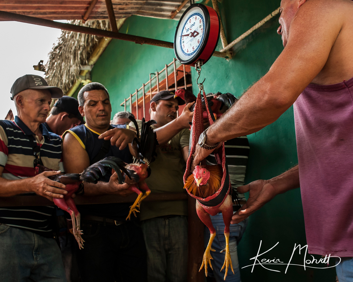 At a small cockfighting arena outside La Palma, Cuba, roosters are weighed in before being handed through a barred window where the birds are held in individual lockers until they are pulled to fight in on July 17, 2016.  Occasionally, arguments ensue between the rooster owners and the fight officials over the recorded weight of the bird.  One-tenth of a kilogram can mean the difference of being assigned to a higher weight class and fighting a larger bird.