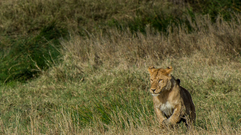 Young-male-lion-1.jpg