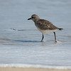 Sandpiper at Assateague Island National Seashore